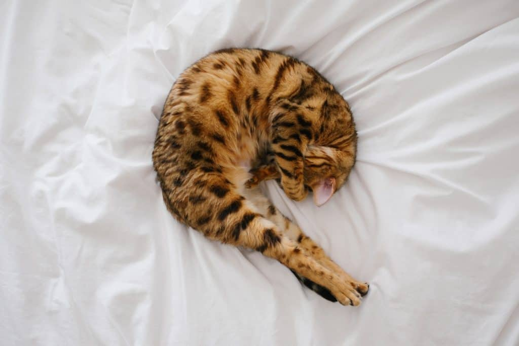 Are you noticing that your pet is in discomfort? It could be one of the signs your pet has fleas. Read my post detailing the 9 main signs that your pet has fleas. #fleamanagement #fleas #petcare